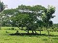 Árvore brotada de um tronco caído.jpg