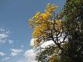 É muito comum encontrar muitos exemplares de Ipês Amarelo em toda a estensão nesta região. - panoramio.jpg
