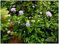 Świerzbnica polna. (Scabiosus arvensis) (Knautia arvensis) 02.jpg