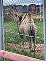 Верблюд в зоосаде.jpg