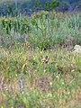 Лисенок на степном участке - Заказник Нагольный кряж.jpg