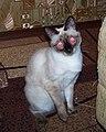 Наша кошка Аська (чем то удивлённая) -) - panoramio.jpg