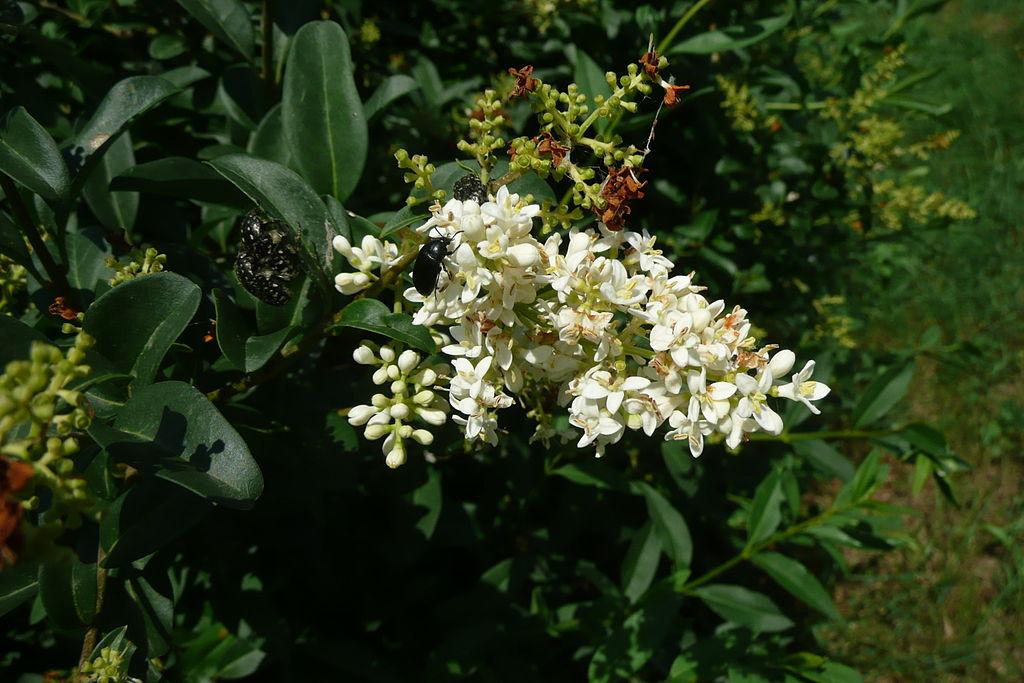 Zob vtáčí - kvety