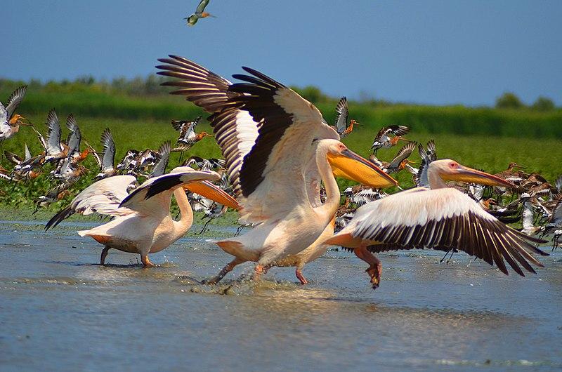 Рожеві пелікани. Дунайський біосферний заповідник. Автор фото —  Максим Яковлєв (CC-BY-SA-4.0)