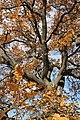 Споменик природе - стабло храста цера у Доњој Црнући крај Горњег Милановца 10.jpg