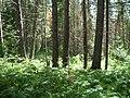 Тайга - panoramio (13).jpg