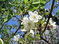 Цветок вишни (A cherry blossom) - panoramio.jpg