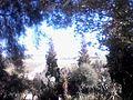 غابة كروس.jpg
