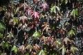 گیاهان در پاییز - باغ بوتانیکال تفلیس 07.jpg