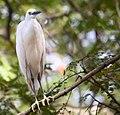 嘉義公園白鷺鷥 - panoramio.jpg