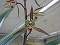 報歲萬代福 Cymbidium sinense 'Lucky All-Ages' -香港沙田國蘭展 Shatin Orchid Show, Hong Kong- (12266951163).jpg