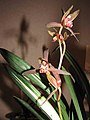 報歲達摩中透 Cymbidium sinense -香港沙田洋蘭展 Shatin Orchid Show, Hong Kong- (12266948523).jpg