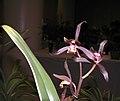 報歲鶴之華 Cymbidium sinense -香港沙田國蘭展 Shatin Orchid Show, Hong Kong- (12284708384).jpg