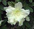 大型杜鵑 Rhododendron Patty Bee -日本大阪鮮花競放館 Osaka Sakuya Konohana Kan, Japan- (27355333347).jpg