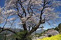 大藪のひがん桜(ひょうたん桜) - panoramio (3).jpg