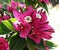 密葉塔紫葉子花 Bougainvillea Pink Pixie -深圳蓮花山公園 Shenzhen Lianhuashan Park, China- (11205368346).jpg