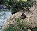 尖山埤島上的猴子 Monkey on the Island in Jianshan Lake - panoramio.jpg