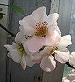 東洋錦海棠-偷來梨蕊三分白 Chaenomeles x superba 'Japanese Colour' -南京莫愁湖 Nanjing Mochou Lake, China- (32778130804).jpg