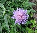 歐洲山蘿蔔 Knautia arvensis (Scabiosa arvensis) -比利時 Leuven Botanical Garden, Belgium- (9200908248).jpg