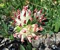 絨毛花屬 Anthyllis vulneraria v alpicola -維也納大學植物園 Vienna University Botanical Garden- (27743920714).jpg