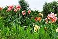 美人蕉 Canna Lilies - panoramio.jpg