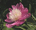 芍藥-粉銀針 Paeonia lactiflora 'Pinkish Silver Needles' -北京景山公園 Jingshan Park, Beijing- (12380296183).jpg