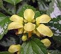 花葉野芝麻 Lamium galeobdolon -澳洲 Garden of St Erth, Australia- (11005964976).jpg