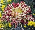 菊花-聖光桃花 Chrysanthemum morifolium 'Peach Flower' -中山小欖菊花會 Xiaolan Chrysanthemum Show, China- (12065511236).jpg