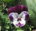 角堇 Viola Penny Mickey -上海國際花展 Shanghai International Flower Show- (16721150403).jpg