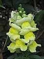 金魚草 Antirrhinum majus -英格蘭 Bowness-on-Windermere, England- (9213335653).jpg