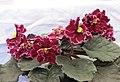 非洲紫羅蘭 Saintpaulia Lady in Red -香港花展 Hong Kong Flower Show- (13220313963).jpg