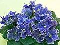非洲紫羅蘭 Saintpaulia Perfect Harmony -香港北區花鳥蟲魚展 North District Flower Show, Hong Kong- (24066495021).jpg