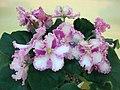 非洲紫羅蘭 Saintpaulia Rosie Ruffles Sport -香港北區花鳥蟲魚展 North District Flower Show, Hong Kong- (24041026902).jpg