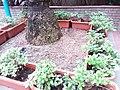 香港 西環 Sai Ying Pun 桂香街 Kwai Heung Street 崇慶里遊樂場 Sung Hing Lane Children's Playground palm tree root February 2019 SSG 05.jpg