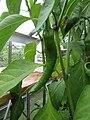 -2019-07-31 Cayenne pepper (Capsicum annuum), Trimingham (2).JPG