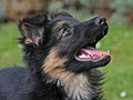 01 puppy portrait Kim 8 weeks.jpg