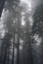 עצי סקויה -ויקיפדיה ארה