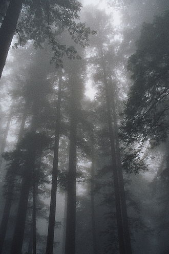 Redwood Grove - Fog is of major importance in Coast Redwood ecology. Redwood National Park.