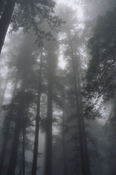 399px 030803a redwoodfog About