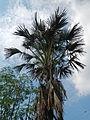 06211jfMayapyap Sur Palms Dalampang Buliran Cabanatuan Ecijafvf 12.JPG