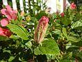 0985jfHibiscus rosa sinensis Linn White Pinkfvf 18.jpg