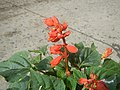 0998Ornamental plants in the Philippines 43.jpg