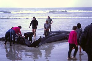 False killer whale - The Flinders Bay beaching, 1986