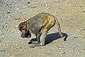 1996 -223-5A Sariska Tiger Reserve (2233404549).jpg