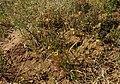 1 Goodenia fascicularis habit.jpg