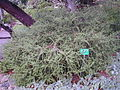 200410 Melaleuca Diosmifolia.JPG