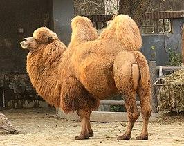 De kleur camel gerelateerd aan de haarkleur van de kameel