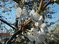 20120401Kirschbluete Neulussheim04.jpg