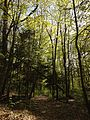 2013-05-06 16 41 33 View southwest along the Swamp Trail past a Red Spruce grove in Jenny Jump State Forest.jpg
