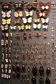 2013 Naturkunde-Museum Biodiversitaet 02 anagoria.jpg